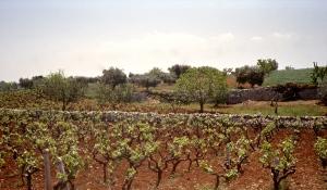 Al alberello or head-pruned grape vines in the Valle d'Itria.