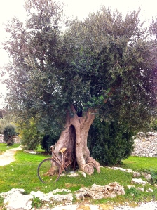 A centuries-old olive tree in Puglia.