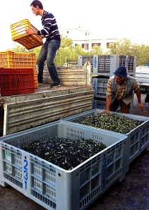 Farmers unload their olives at the mill.