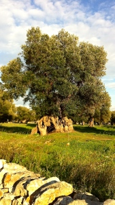Hundreds of years old olive tree near Ostuni by the Adriatic Sea.
