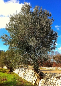 A hardy olive tree grows through the mortarless stone wall that borders our property on Via Ostuni.