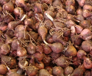 Lampascioni or wild hyacinth is a favorite Pugliese ingredient in winter stews.