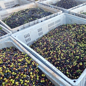 Just-harvested olives waiting for their moment on the press.