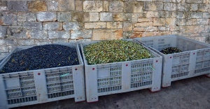 Olives in bins waiting for their turn on the press.