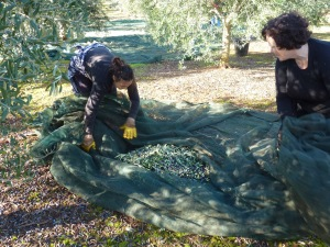 Teresa and I remove twigs and leaves before gathering up the olives and transferring them to the waiting bins.