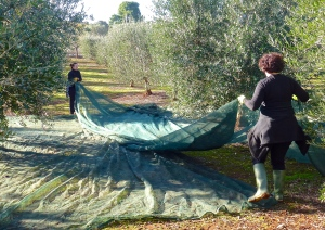 Teresa Sisto and I on olive net spreading duty during the harvest.