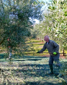 Brian beats the olive tree's branches to dislodge any remaining olives after lo scuotitore passes through.
