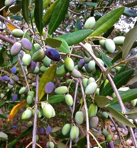 Almost ready to harvest, these olives range from green to pale violet to deep purple.