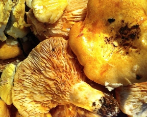 Wild mushrooms foraged on our property.