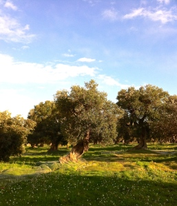 Centuries-old olive tree in the Alto Salento, Puglia.
