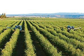 Industrial capacity olive groves with automated harvesters in California (Seattle Times, 2008).