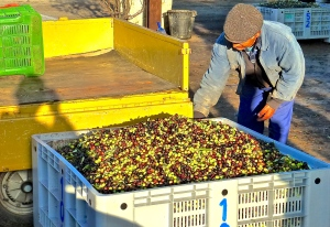 A farmer surveys his harvest as he waits for his time slot at the olive mill.