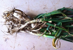 Pugliese spring onions, also called sponsali, have a pronounced aroma and flavor.