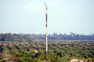 Palm forest in Indonesia is cleared of all inhabitants and harvested to meet worldwide demand for palm oil.