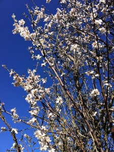 Almonds are the first to flower, letting us know that spring is on the way.