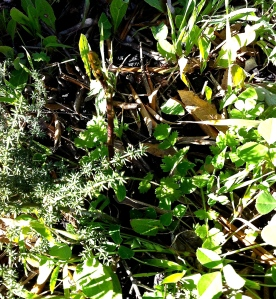 The spiky leaves of the wild asparagus plant hide themselves among other wild herbs. Can you spot them in this photo?