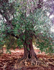 This hundred-year-old olive is desperately in need of a trim.