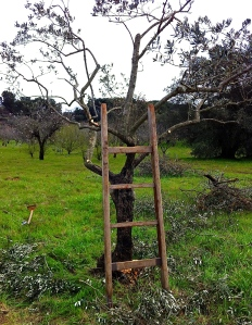 Olive tree pruning the old-fashioned way.