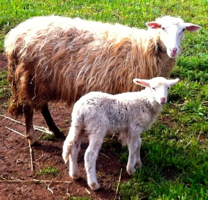 Bella and her newborn baby lamb in the countryside near Cisternino, Italy.