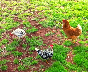 Some of the local livestock we cared for during our holiday in the country.