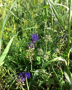 Wild orchids among the fast-growing grasses all over the Valle d'Itria countryside.