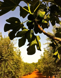 Figs ripening in the sun at Tenuta Rubino near the Adriatic Coast in Ostuni, Italy.