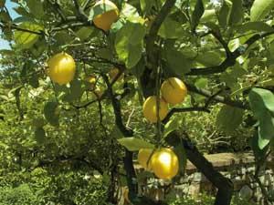 Near the Adriatic and Ionian coasts in Puglia, citrus fruits flourish.