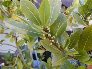 Make sure you use culinary bay leaves, not the leaves of the California laurel tree.