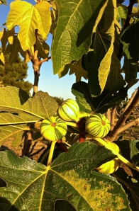 Ficus carica 'Panachee' or fico rigato in Italy, this fig is as stunning to look at as it is to eat.