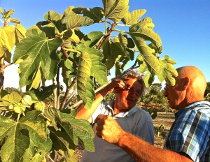 Paolo and Brian examine fig trees and discuss pruning strategies at I Giardini di Pomona.