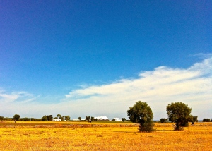 Thousand year old olive trees dot the golden landscape on the fertile Ostuni-Fasano plain.