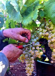 The first step in harvesting grapes is finding the grappoli (bunches) hidden among the leaves.