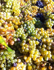 The fruits of our grape-picking labor during this year's vendemmia are transported to Cisternino's cooperative winery.