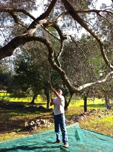 Brian extends the olive rake as far as it will go to release the ogliarola olives from their branches.