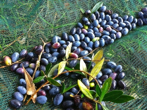 Hand-harvested olives drop into nets laid carefully below the trees.