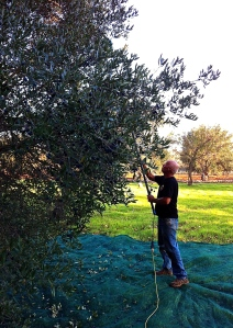 Brian steps up the yield by using a hand-held scuotitore that gently rakes the olives from the trees' highest branches.