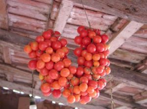 Hanging in a cool place, these thick-skinned tomatoes will last well into the winter, prolonging the real taste of summer during the shortest days of the year.