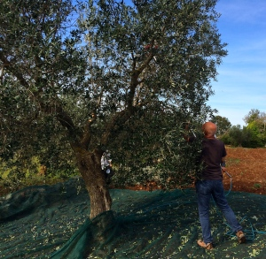 We harvested in mid-October, avoiding olive fly infestation, but yields were so low that we finished in just a few days.