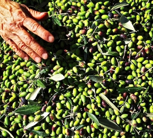 We harvested the few olives that were on our trees early  this year, escaping olive fly infestation. Unfortunately, we just didn't produce enough this year.