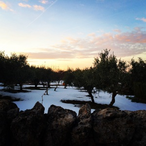 A foot of snow will help reduce the olive fly population next year, so we welcomed the surprise storm with open arms.